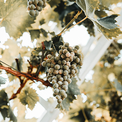 White Grapes on a vine